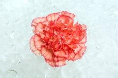 Oeillet sur la glace Image libre de droits