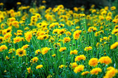 Oeillets jaunes Image stock