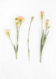 Oeillets jaunes d'isolement photo libre de droits