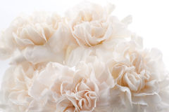 Oeillets rose-clair Photos stock