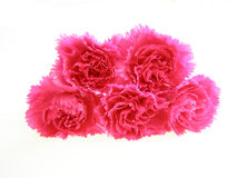 Oeillets roses photos stock
