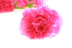 Oeillets roses images stock
