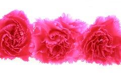 Oeillets roses photo libre de droits
