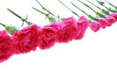 Oeillets roses photos libres de droits