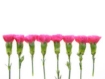 Oeillets roses Photographie stock