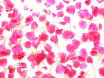 Oeillets roses image libre de droits