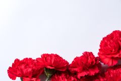 Oeillets rouges sur un fond blanc image libre de droits
