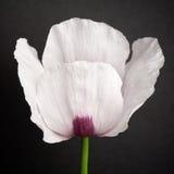 Oeillette (Papaver somniferum) Image libre de droits