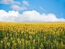 Oekraïens zonnebloemgebied royalty-vrije stock fotografie