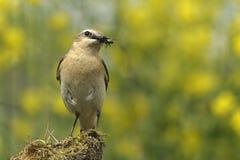 Oenanthe dell'uccello Fotografia Stock Libera da Diritti