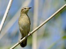 Oenanthe dell'uccello Immagini Stock Libere da Diritti