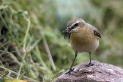 Oenanthe dell'uccello Fotografie Stock Libere da Diritti