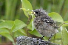 Oenanthe dell'uccello di bambino Immagine Stock
