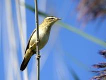 Oenanthe dell'uccello di bambino Immagine Stock Libera da Diritti