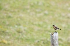 Oenanthe femelle d'Oenanthe avec des chenilles dans le bec Photo libre de droits