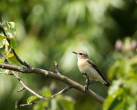 Oenanthe oenanthe, Wheatear Stock Photography