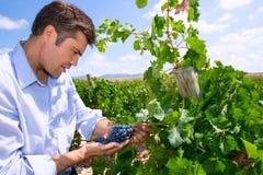 Oenologist dell'enologo che controlla gli acini d'uva di Tempranillo Fotografia Stock
