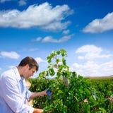 Oenologist Winemaker проверяя виноградины вина Tempranillo Стоковое фото RF