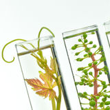 Oenology, young vine shoots in red test tubes, Research Laborato. Ry Biological Stock Image
