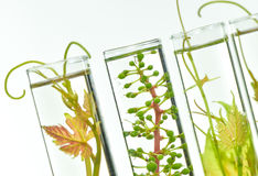 Oenology, young vine shoots in red test tubes, Research Laborato. Ry Biological Royalty Free Stock Photo
