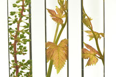 Oenology, young vine shoots in red test tubes, Research Laborato. Ry Biological Stock Photos