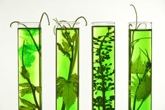 Oenology, young vine shoots in red test tubes, Research Laborato. Ry Biological Royalty Free Stock Images