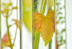 Oenology, young vine shoots in red test tubes, Research Laborato. Ry Biological Stock Photo