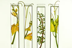 Oenology, young vine shoots in red test tubes, Research Laborato. Ry Biological Stock Images