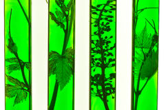 Oenology, young vine shoots in red test tubes, Research Laborato. Ry Biological Royalty Free Stock Photos