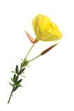 Oenothère biennale (Oenothera) Image stock