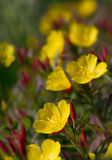 Oenothera Royalty Free Stock Images