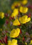 Oenothera Images libres de droits