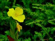 Oenothera Royaltyfria Foton