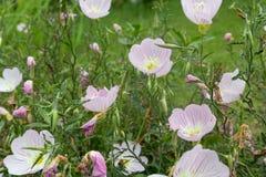 Oenothera biennis immagine stock
