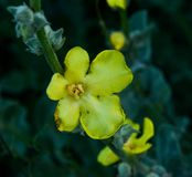 Oenothera biennis in Grecia immagini stock libere da diritti
