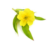 Oenothera flower  isolated on white background. Stock Image