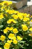 Oenothera gele bloemen Stock Foto's