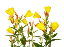 Oenothera glazioviana Royalty Free Stock Photos