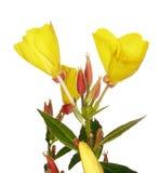 Oenothera glazioviana Stock Image