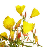 Oenothera glazioviana Royalty Free Stock Photo