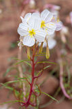 Oenothera pallida — pale evening-primrose Stock Photo