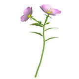 Oenothera plant Stock Photo