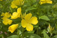 Oenothera primrose Stock Images