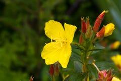 Oenothera som blommar efter regn i sommarträdgården arkivfoton