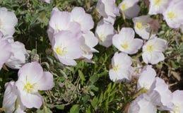 Oenothera speciosa blossom. Beautiful blossom of Oenothera speciosa Royalty Free Stock Image