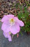 Oenothera speciosa Royalty Free Stock Photography
