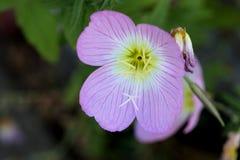 Oenothera speciosa, Pinkladies, Pink evening primrose Royalty Free Stock Images