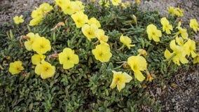 Oenotherablomma Royaltyfria Bilder