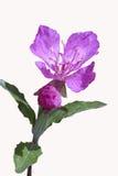 Oenotherakunthiana som glöder magentafärgad Arkivbild