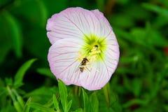 Oenotherarosea, als rooskleurige avond-sleutelbloem ook wordt bekend die stock foto's